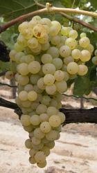 Ugni_blanc_B__grappe_