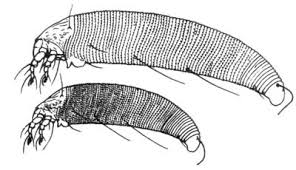 Phytopte, Colomerus vitis